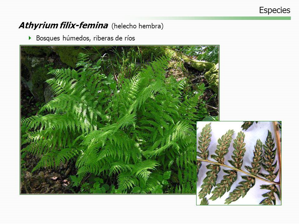Especies Athyrium filix-femina (helecho hembra) Bosques húmedos, riberas de ríos