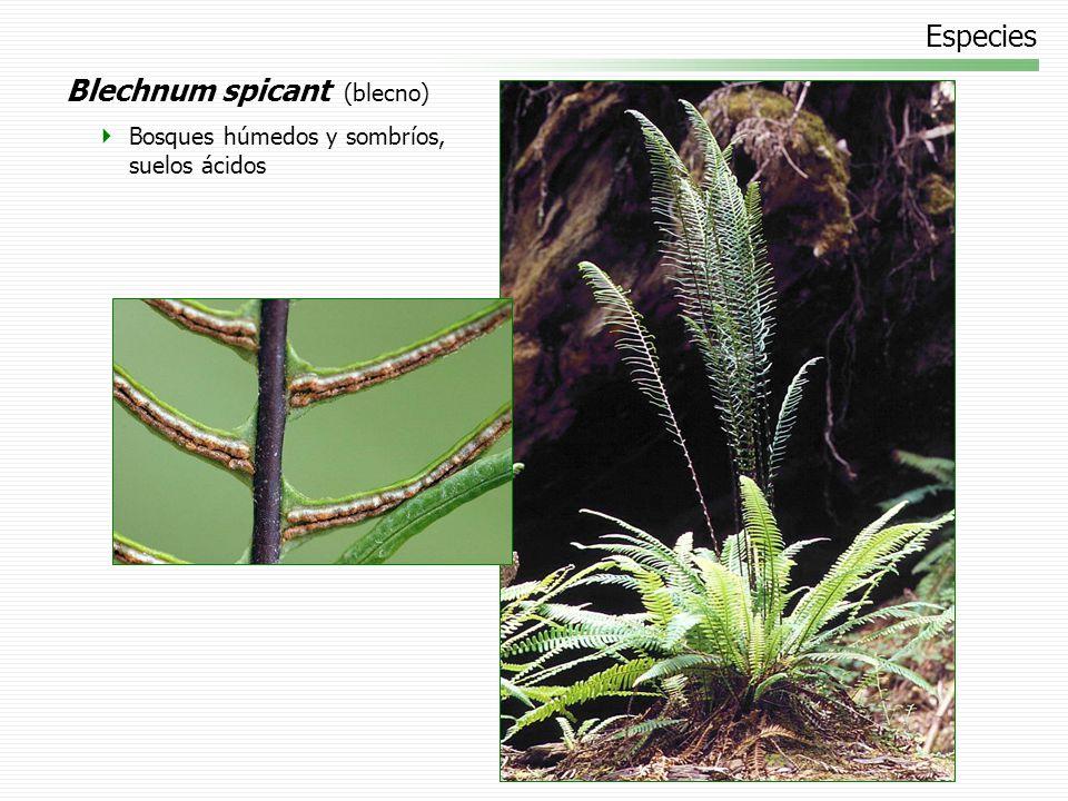 Especies Blechnum spicant (blecno) Bosques húmedos y sombríos, suelos ácidos