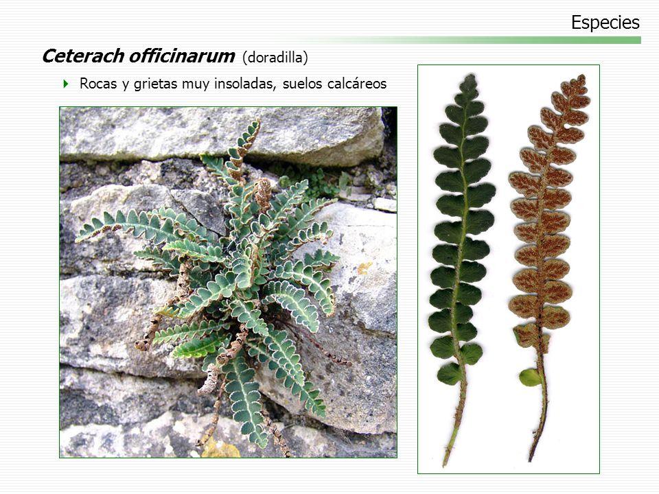 Especies Ceterach officinarum (doradilla) Rocas y grietas muy insoladas, suelos calcáreos