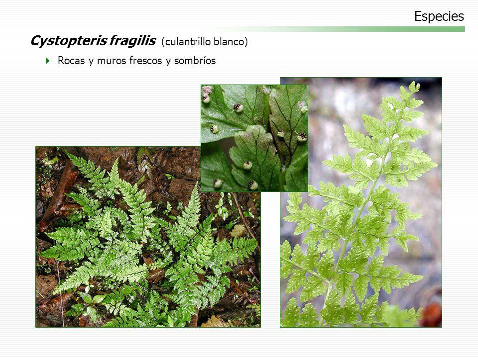 Especies Cystopteris fragilis (culantrillo blanco) Rocas y muros frescos y sombríos