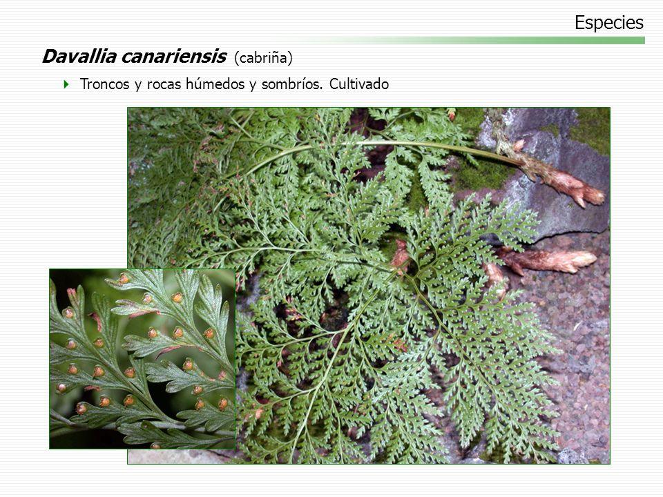 Especies Davallia canariensis (cabriña) Troncos y rocas húmedos y sombríos. Cultivado