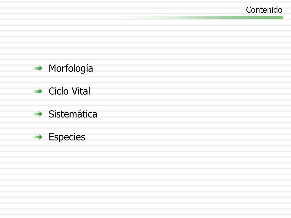 Morfología Fronde: hoja Rizoma: tallo subterráneo con raíces Soro: órgano reproductor Entera Dividida: pinnas y pínnulas Conjunto de esporangios Esporangios esporas