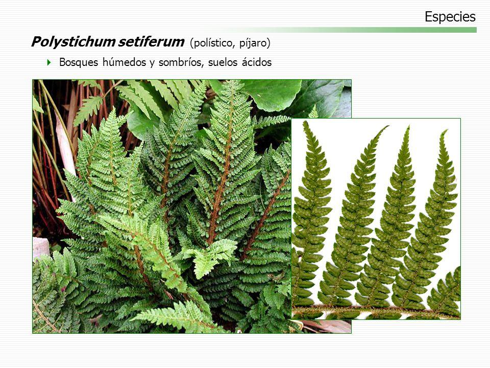 Especies Polystichum setiferum (polístico, píjaro) Bosques húmedos y sombríos, suelos ácidos