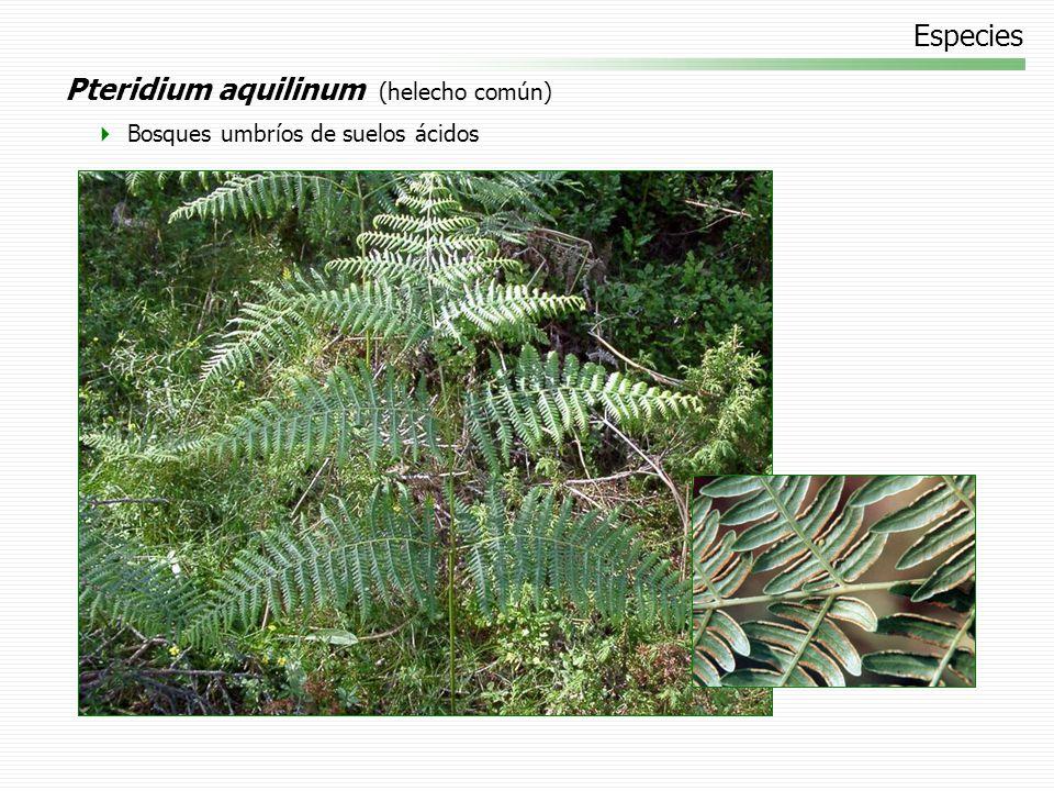 Especies Pteridium aquilinum (helecho común) Bosques umbríos de suelos ácidos