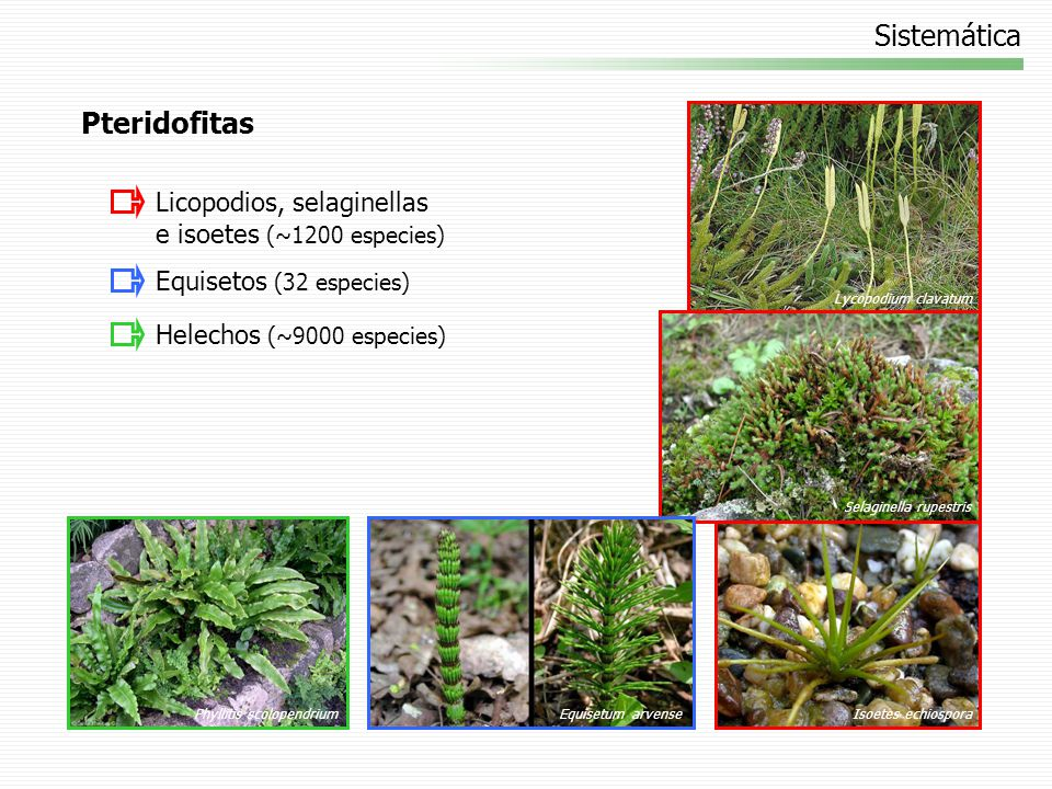 Especies Dryopteris filix-mas (helecho macho) Bosques, rocas, riberas de ríos