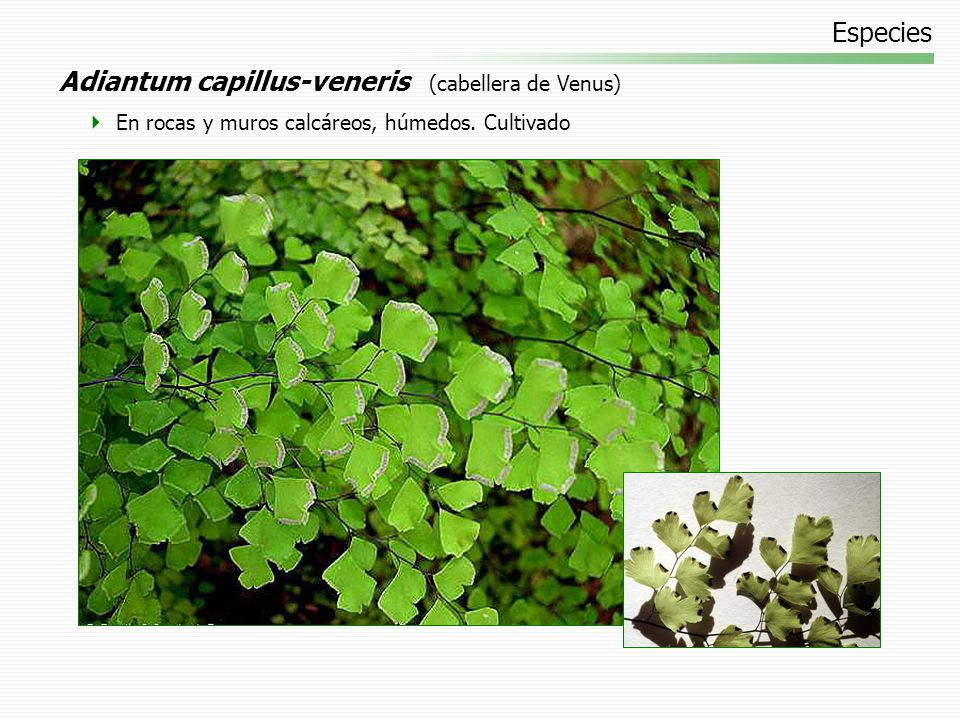 Especies Nephrolepis exaltata (helecho espada) Cultivado en macetas y jardines