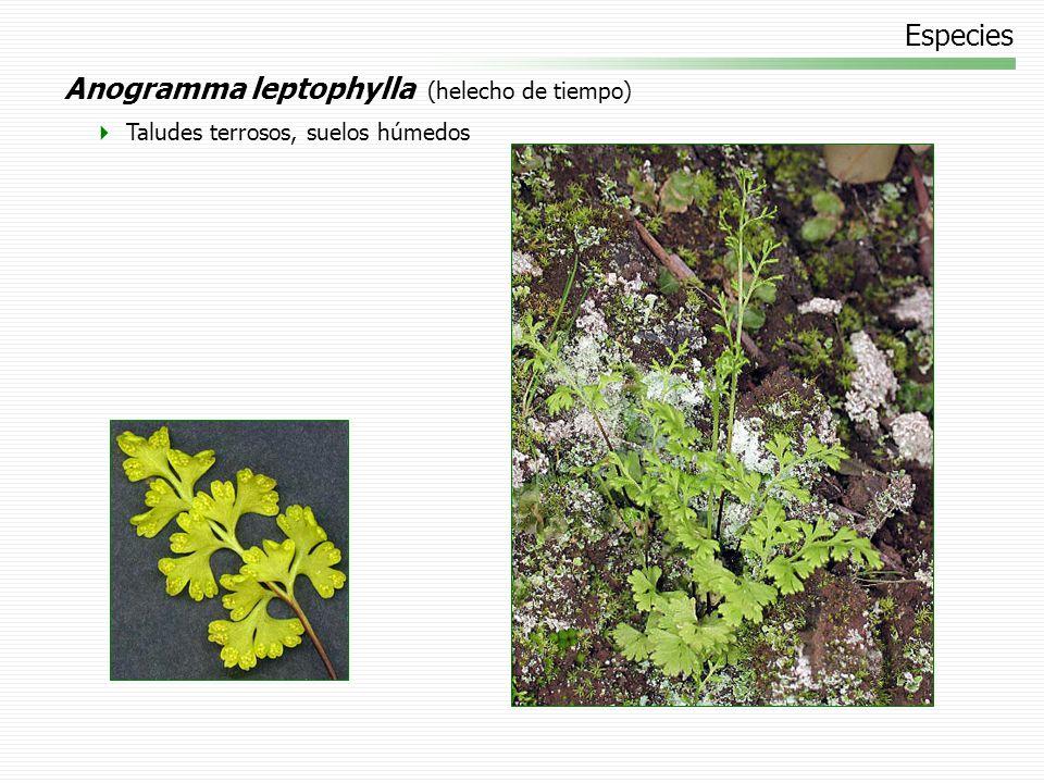 Especies Anogramma leptophylla (helecho de tiempo) Taludes terrosos, suelos húmedos