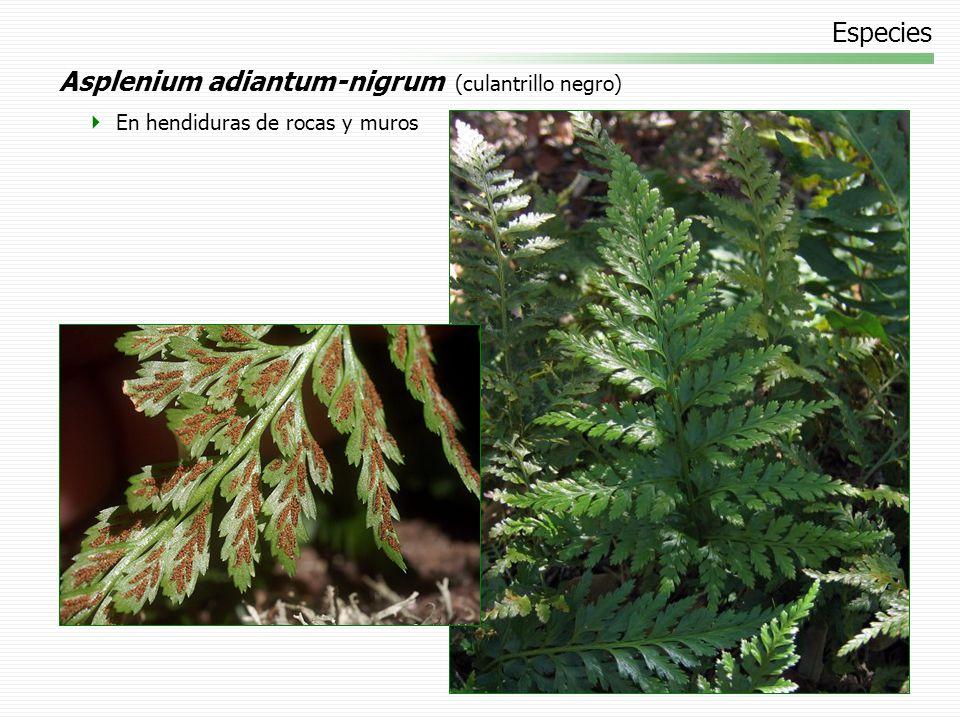 Especies Pellaea rotundifolia (helecho botón) Especie cultivada