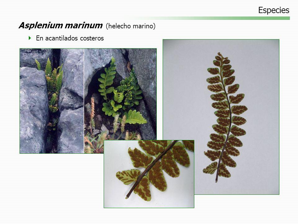 Especies Phyllitis scolopendrium (lengua de ciervo) Bosques y rocas sombríos y húmedos. Cultivado