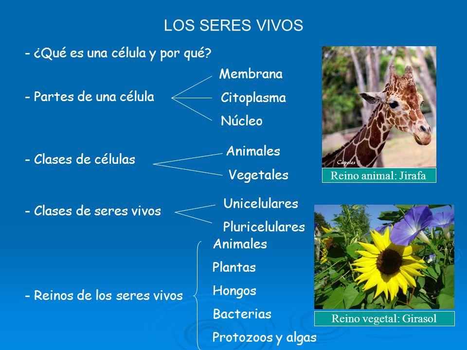LOS SERES VIVOS - ¿Qué es una célula y por qué? - Partes de una célula Membrana Citoplasma Núcleo - Clases de células Animales Vegetales - Clases de s