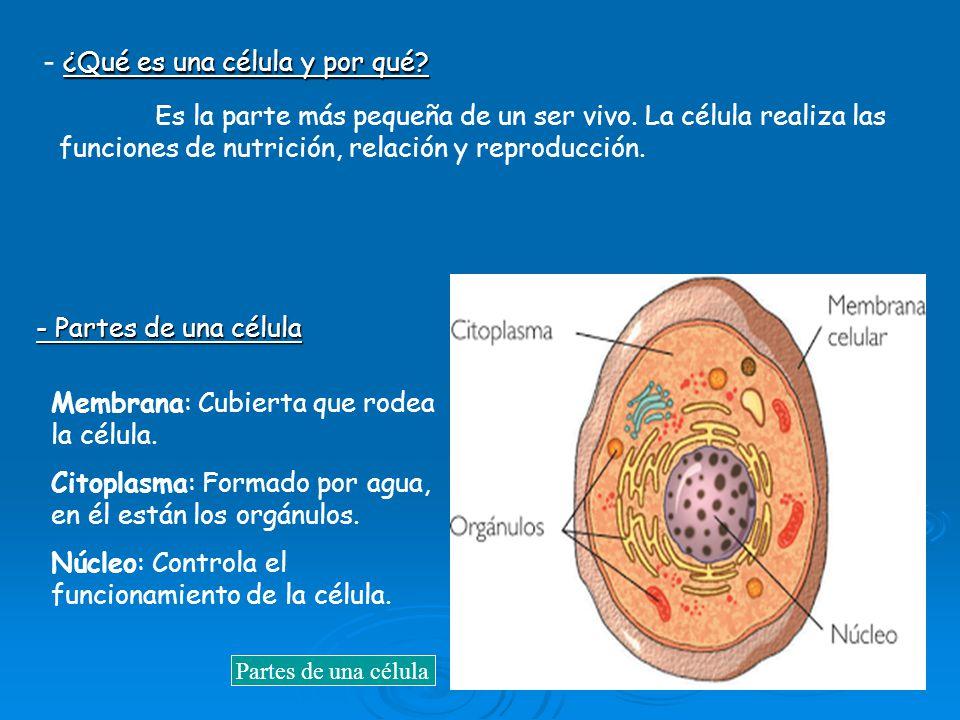 ¿Qué es una célula y por qué? - ¿Qué es una célula y por qué? Es la parte más pequeña de un ser vivo. La célula realiza las funciones de nutrición, re
