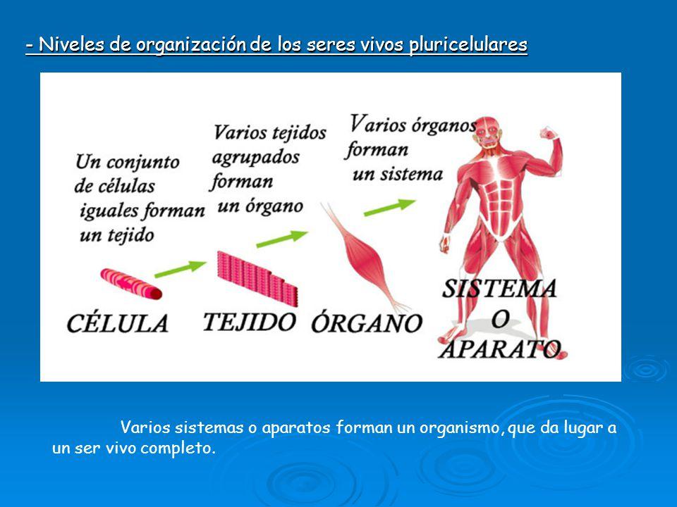 - Niveles de organización de los seres vivos pluricelulares