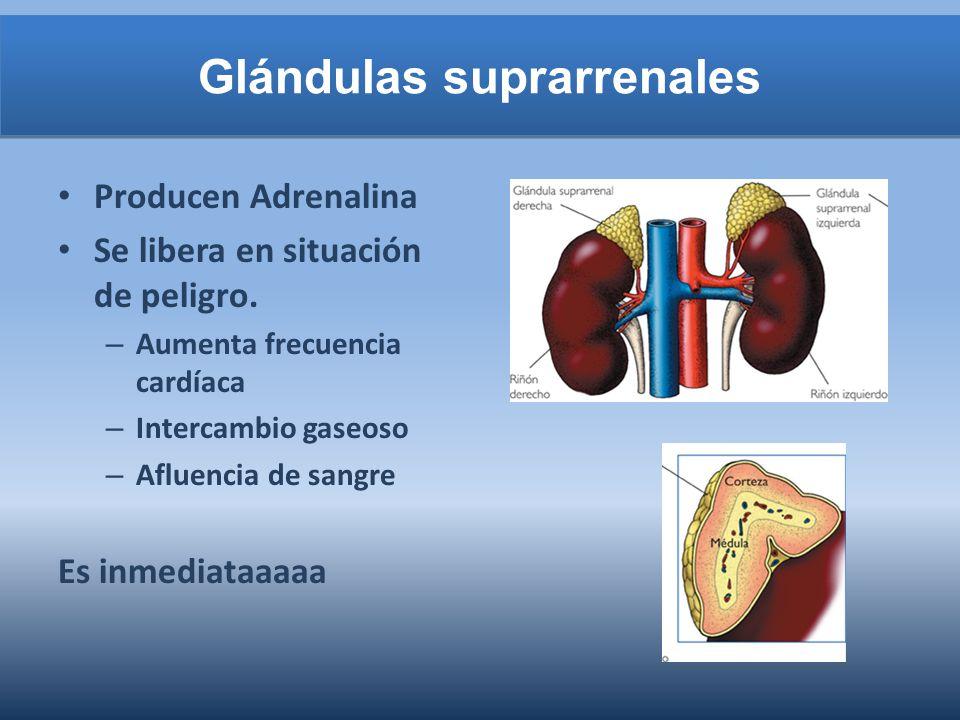 Glándulas suprarrenales Producen Adrenalina Se libera en situación de peligro. – Aumenta frecuencia cardíaca – Intercambio gaseoso – Afluencia de sang