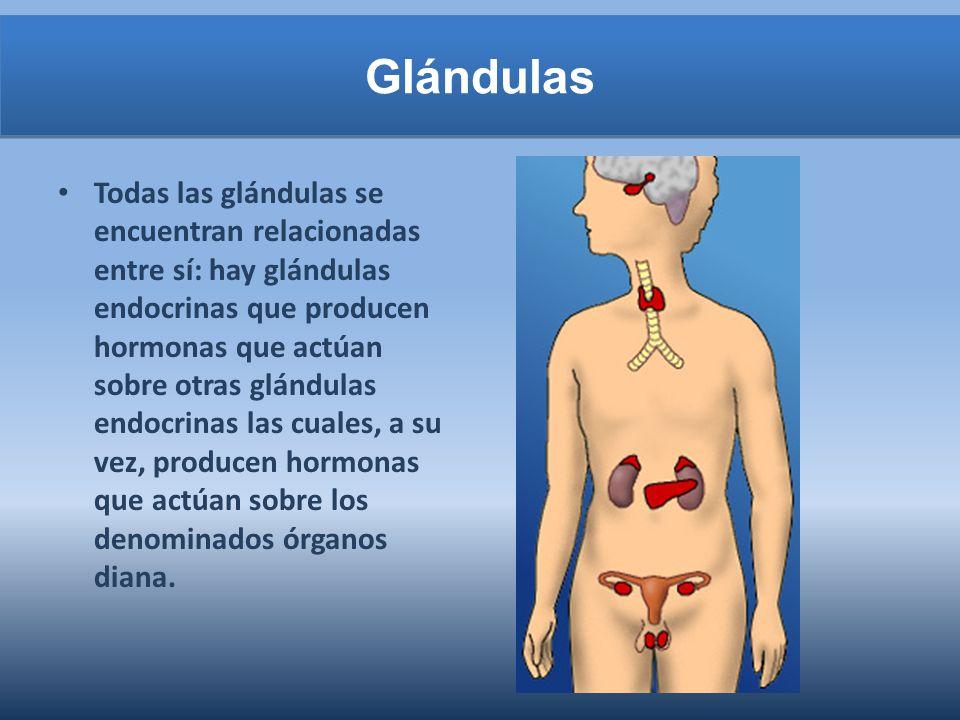 Glándulas Todas las glándulas se encuentran relacionadas entre sí: hay glándulas endocrinas que producen hormonas que actúan sobre otras glándulas endocrinas las cuales, a su vez, producen hormonas que actúan sobre los denominados órganos diana.