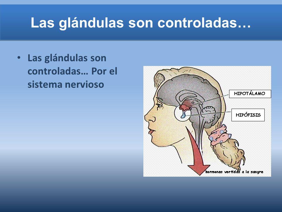 Las glándulas son controladas… Las glándulas son controladas… Por el sistema nervioso
