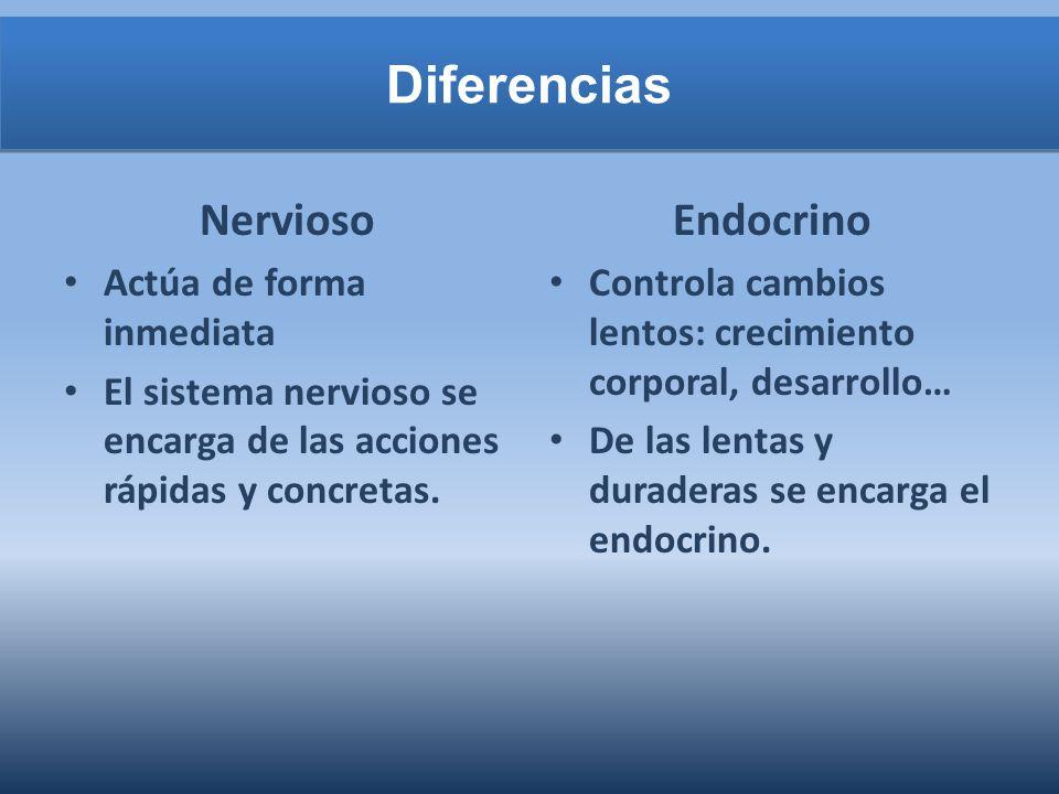 Diferencias Nervioso Actúa de forma inmediata El sistema nervioso se encarga de las acciones rápidas y concretas. Endocrino Controla cambios lentos: c
