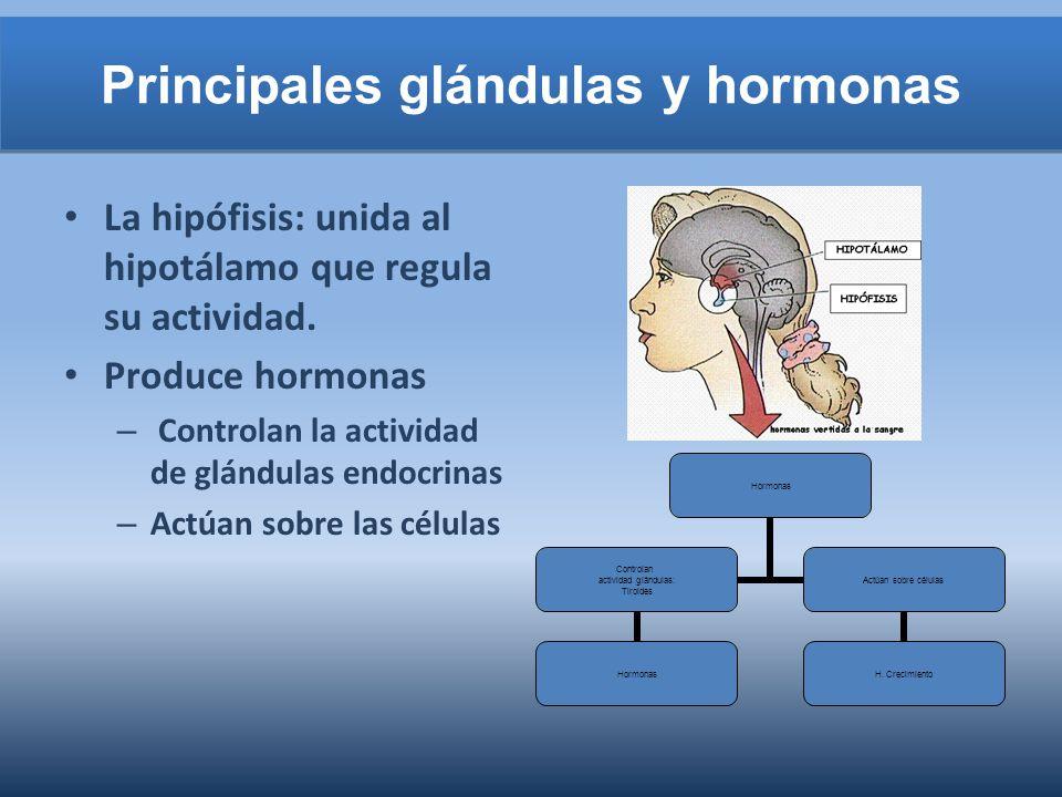 Principales glándulas y hormonas La hipófisis: unida al hipotálamo que regula su actividad. Produce hormonas – Controlan la actividad de glándulas end