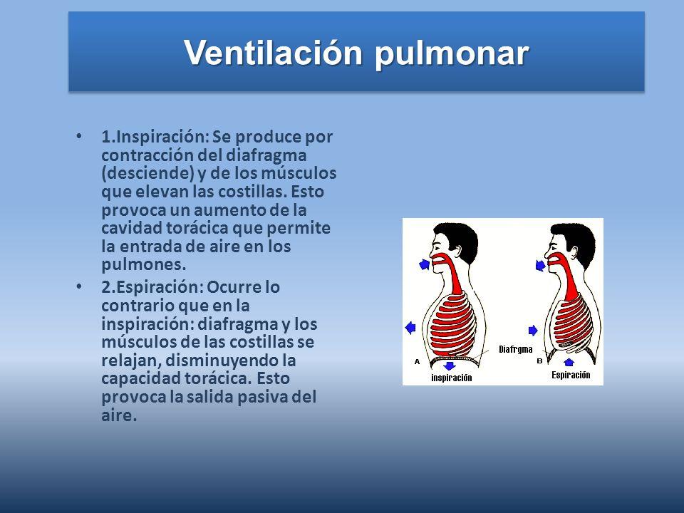 Ventilación pulmonar 1.Inspiración: Se produce por contracción del diafragma (desciende) y de los músculos que elevan las costillas. Esto provoca un a