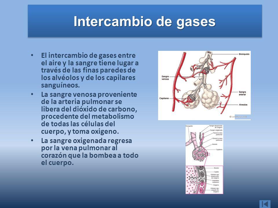 Intercambio de gases El intercambio de gases entre el aire y la sangre tiene lugar a través de las finas paredes de los alvéolos y de los capilares sa