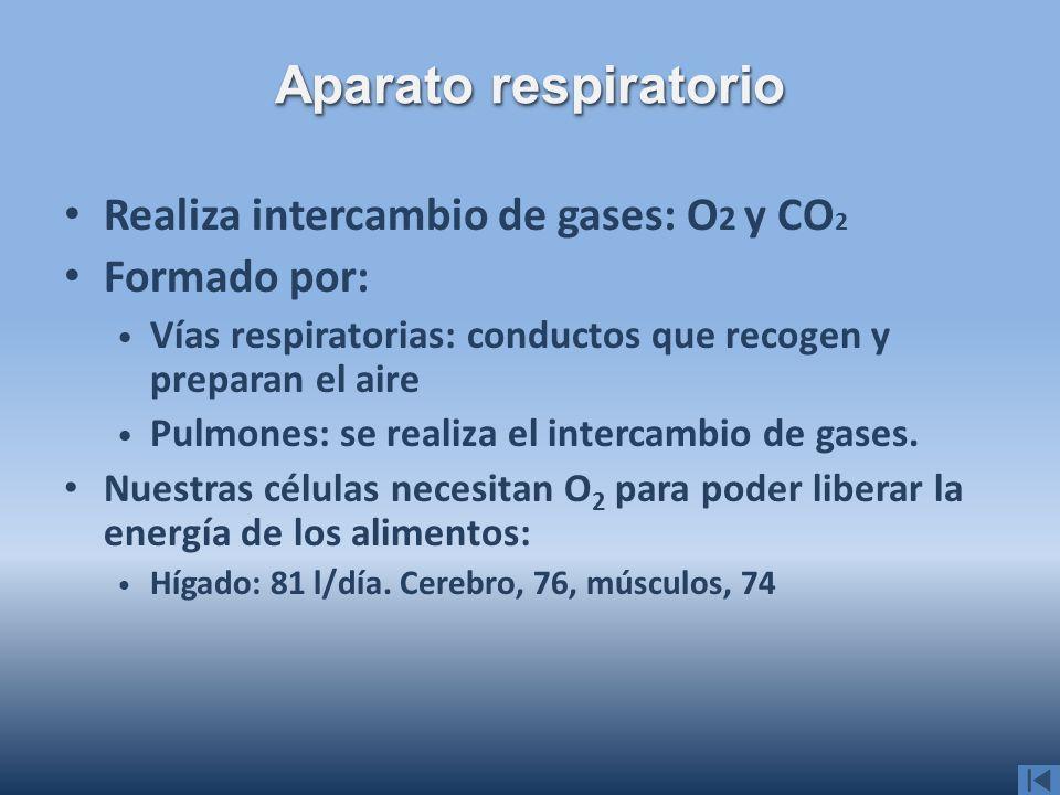 Realiza intercambio de gases: O 2 y CO 2 Formado por: Vías respiratorias: conductos que recogen y preparan el aire Pulmones: se realiza el intercambio
