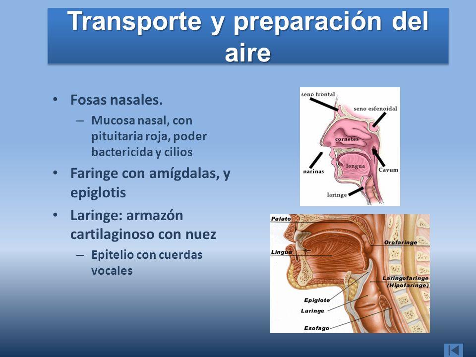 Transporte y preparación del aire Fosas nasales. – Mucosa nasal, con pituitaria roja, poder bactericida y cilios Faringe con amígdalas, y epiglotis La