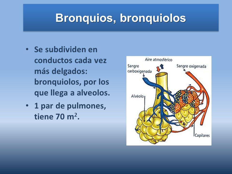 Bronquios, bronquiolos Se subdividen en conductos cada vez más delgados: bronquiolos, por los que llega a alveolos. 1 par de pulmones, tiene 70 m 2.