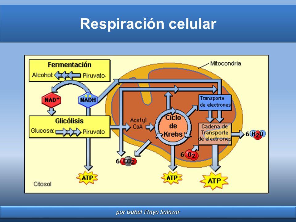 por Isabel Etayo Salazar Respiración celular