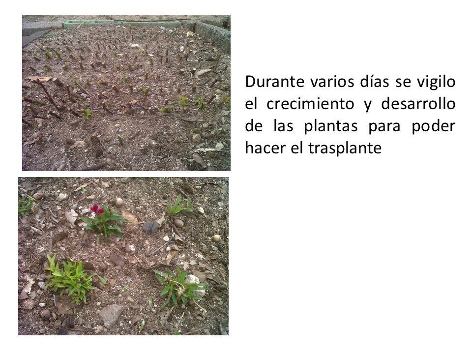 Durante varios días se vigilo el crecimiento y desarrollo de las plantas para poder hacer el trasplante