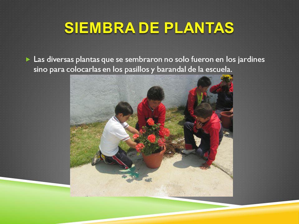 SIEMBRA DE PLANTAS Las diversas plantas que se sembraron no solo fueron en los jardines sino para colocarlas en los pasillos y barandal de la escuela.