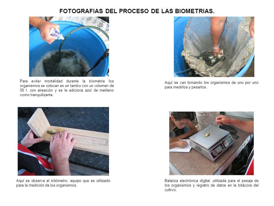 FOTOGRAFIAS DEL PROCESO DE LAS BIOMETRIAS. Para evitar mortalidad durante la biometría los organismos se colocan en un tambo con un volumen de 50 l. c
