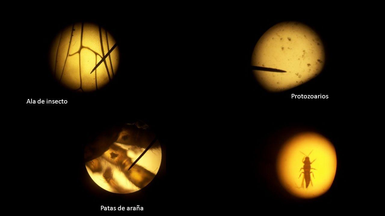 Ala de insecto Patas de araña Protozoarios