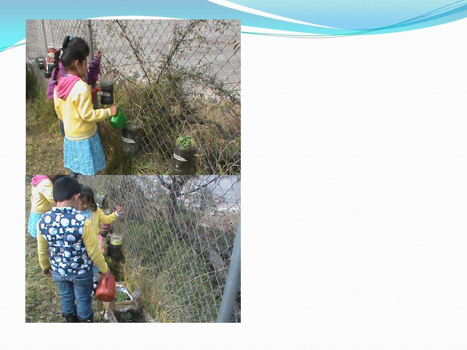 En estas fotos se muestra a los alumnos cuidando de sus hortalizas esperando que estén del tamaño correcto para cortarlas y poderse alimentar de ellas.(Se sembro,calabaza, jitomate, zanahoria, rábano y cilantro)