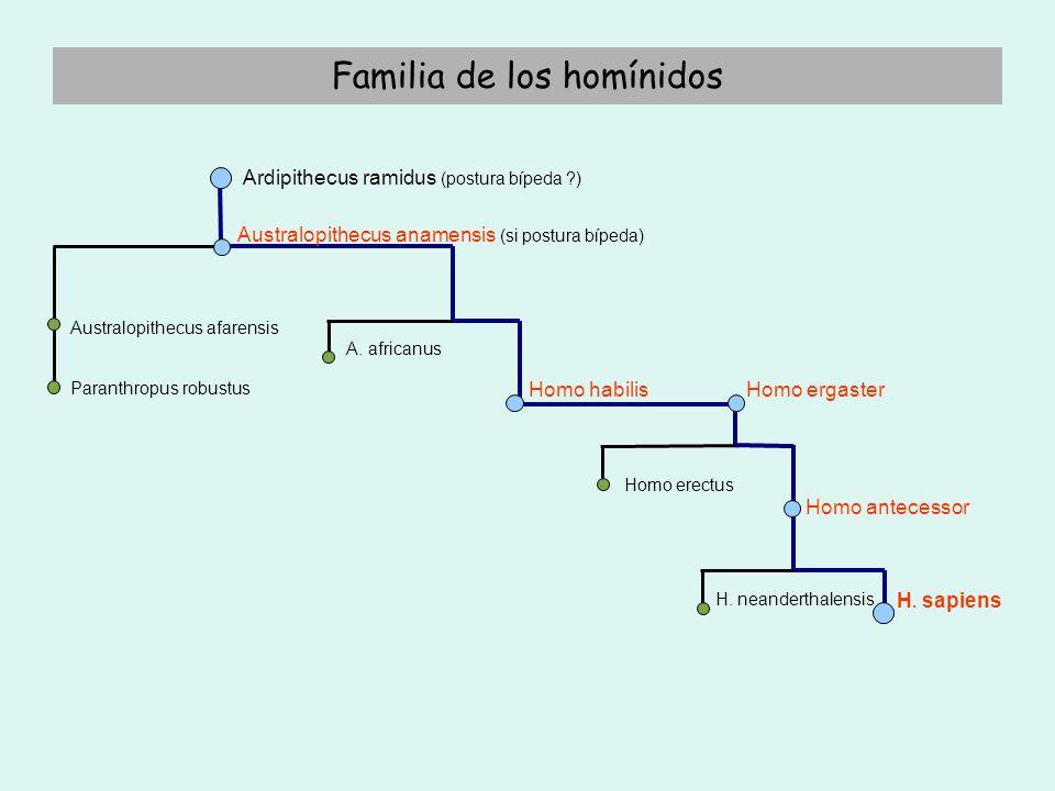 ORDEN DE LOS PRIMATES PRIMATES Orden Antropoides ProsimiosSuborden (Lémures, tarsios, gálagos y loris) Monos del N.
