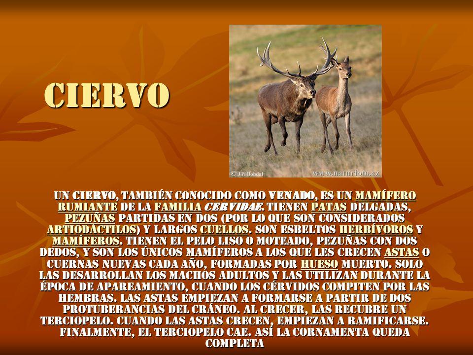 CIERVO Un ciervo, también conocido como venado, es un mamífero rumiante de la familia cervidae.