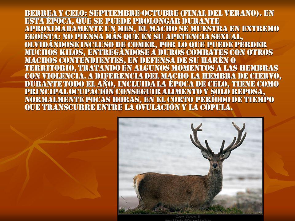 Berrea y celo: Septiembre-octubre (final del verano).