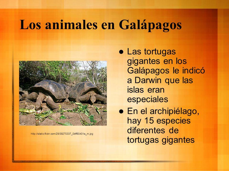 Los animales en Galápagos Las tortugas gigantes en los Galápagos le indicó a Darwin que las islas eran especiales En el archipiélago, hay 15 especies
