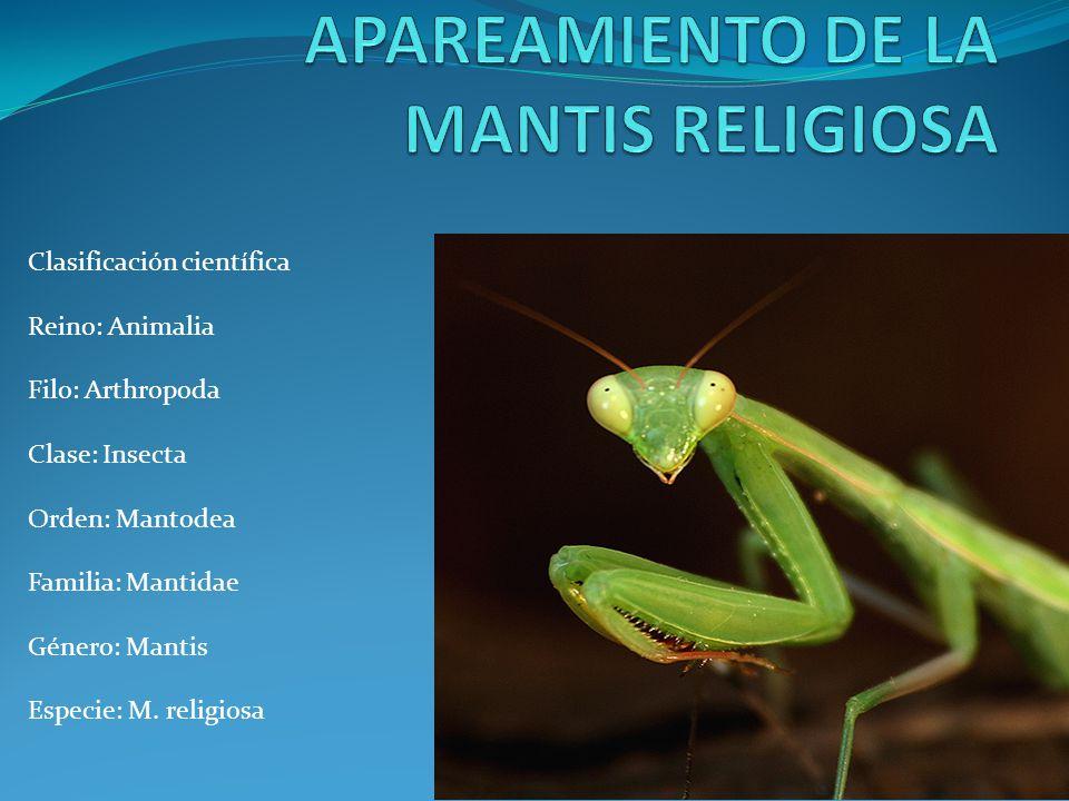 Clasificación científica Reino: Animalia Filo: Arthropoda Clase: Insecta Orden: Mantodea Familia: Mantidae Género: Mantis Especie: M. religiosa
