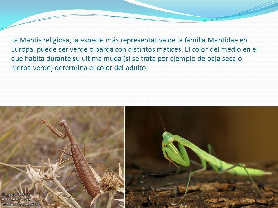 La Mantis religiosa, la especie más representativa de la familia Mantidae en Europa, puede ser verde o parda con distintos matices. El color del medio