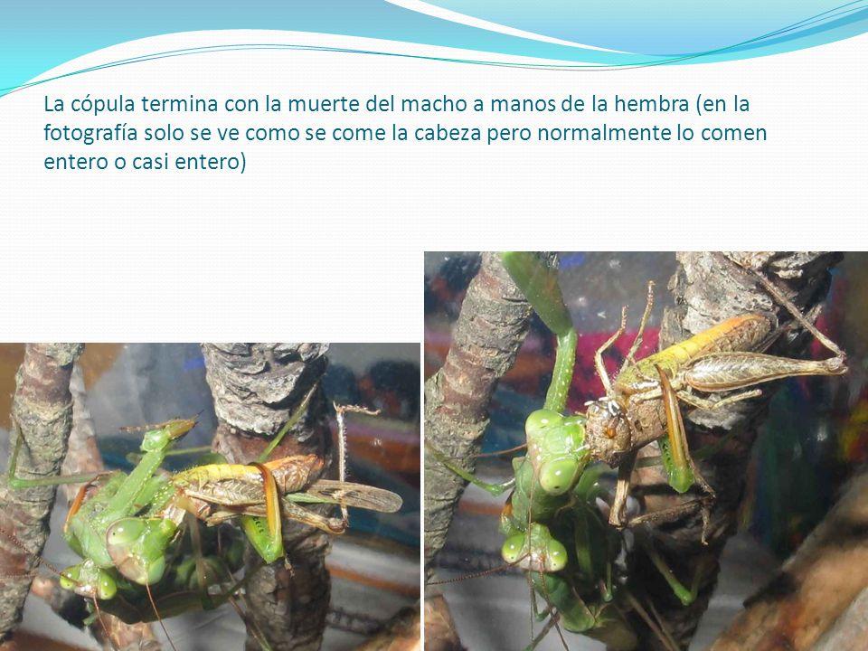 La cópula termina con la muerte del macho a manos de la hembra (en la fotografía solo se ve como se come la cabeza pero normalmente lo comen entero o
