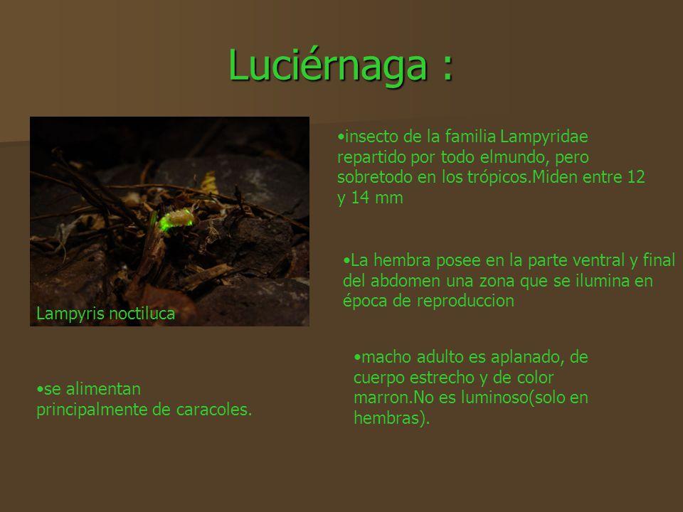 Luciérnaga : Lampyris noctiluca insecto de la familia Lampyridae repartido por todo elmundo, pero sobretodo en los trópicos.Miden entre 12 y 14 mm mac