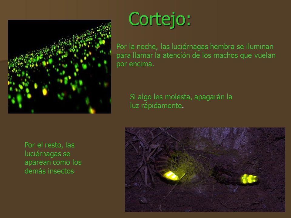 Cortejo: Por la noche, las luciérnagas hembra se iluminan para llamar la atención de los machos que vuelan por encima. Si algo les molesta, apagarán l