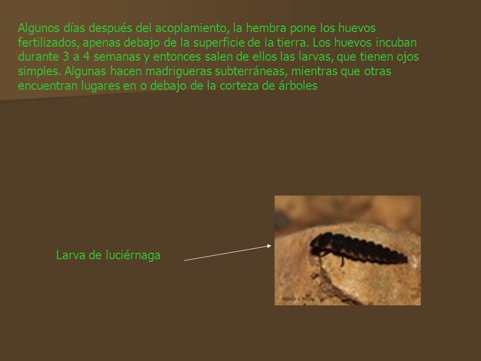 Algunos días después del acoplamiento, la hembra pone los huevos fertilizados, apenas debajo de la superficie de la tierra. Los huevos incuban durante