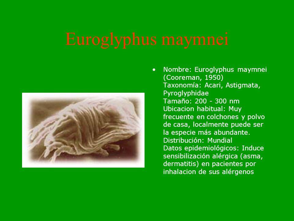 Lepidolyphus destructor Nombre: Lepidolyphus destructor Taxonomía: Acari, Astigmata, Glycyphagidae Tamaño: 400-600 nm Ubicacion habitual: Es una de las especies más frecuentes en productos almacenados, aunque también se encuentra frecuentemente en el polvo domestico.