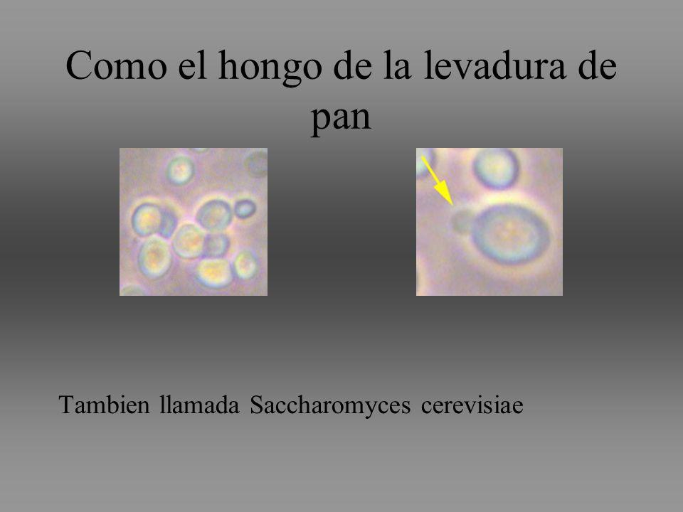 Como el hongo de la levadura de pan Tambien llamada Saccharomyces cerevisiae