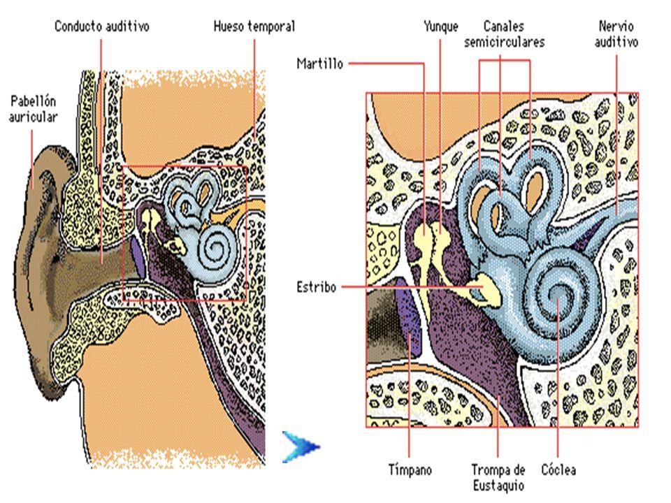 Membrana basilar estirada Frecuencias diferentes en la entrada de sonido causan que diferentes áreas de la membrana basilar vibren.