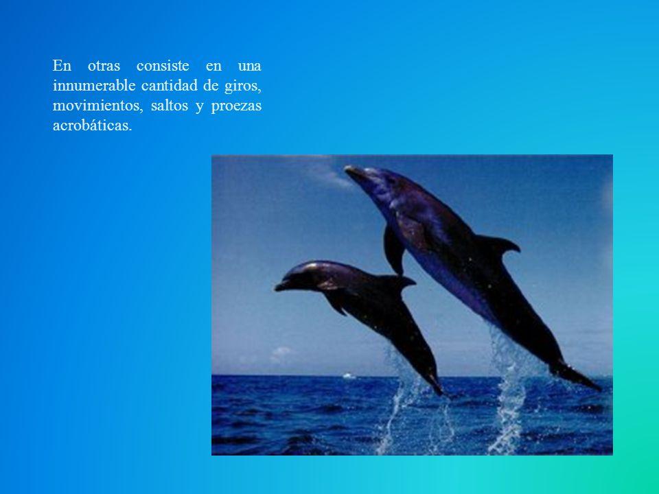 Tras una gestación de 12 a 13 meses, nace un único hijo, que mide alrededor de 1 m de largo y que necesita ayuda inmediata, ya que al ser más denso que el agua caería al fondo del mar como una piedra, ahogándose sin remedio.