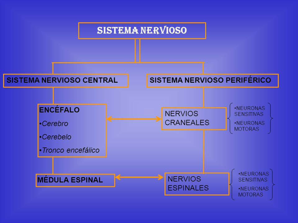 Sistema Nervioso SISTEMA NERVIOSO CENTRALSISTEMA NERVIOSO PERIFÉRICO ENCÉFALO Cerebro Cerebelo Tronco encefálico MÉDULA ESPINAL NERVIOS CRANEALES NERV
