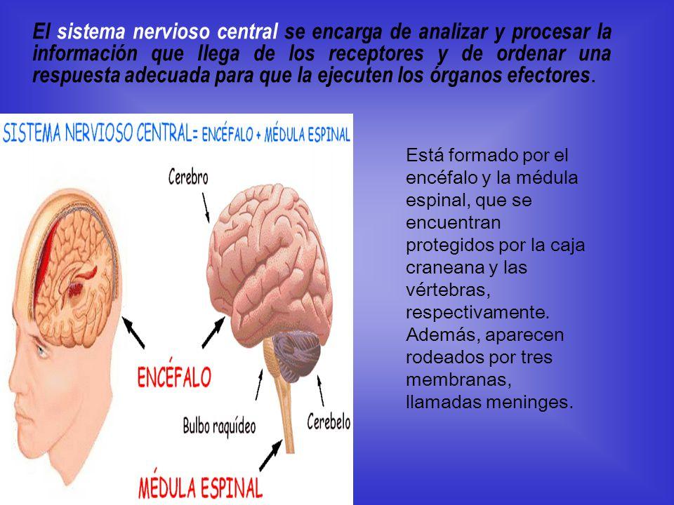 El sistema nervioso central se encarga de analizar y procesar la información que llega de los receptores y de ordenar una respuesta adecuada para que