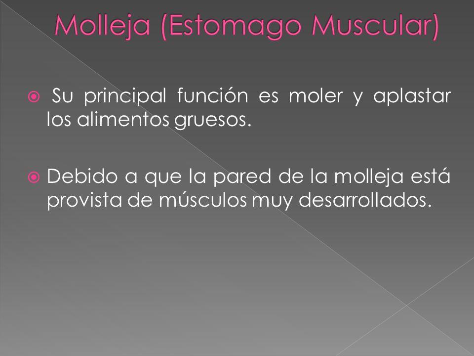 Su principal función es moler y aplastar los alimentos gruesos. Debido a que la pared de la molleja está provista de músculos muy desarrollados.