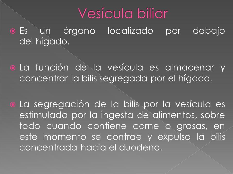 Es un órgano localizado por debajo del hígado. La función de la vesícula es almacenar y concentrar la bilis segregada por el hígado. La segregación de